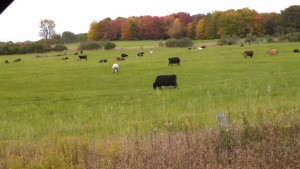 Persells Cow on fall pasture