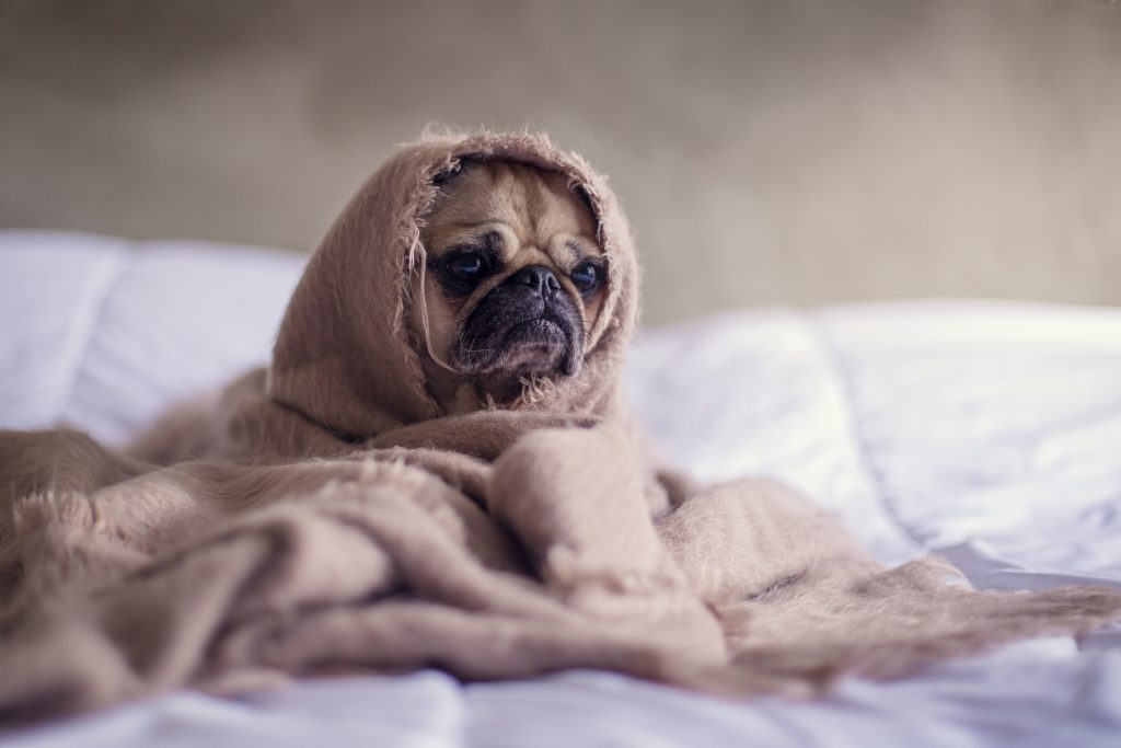 A Pug wrapped in a blanket.